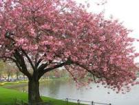 cherry blossom tree pic